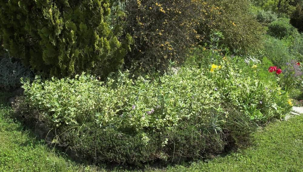 couvre sol supportant la s cheresse page 2 au jardin forum de jardinage. Black Bedroom Furniture Sets. Home Design Ideas