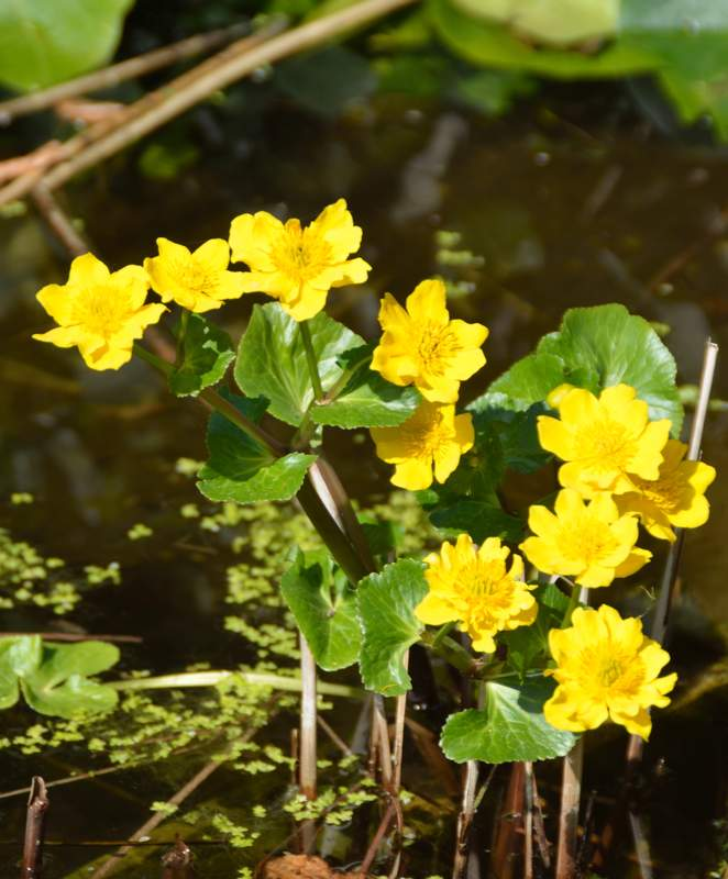 Caltha%20palustris