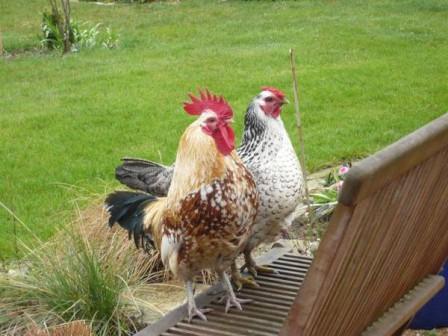 Les poules et le poussin le journal d 39 en galinou for Bien nourrir ses poules